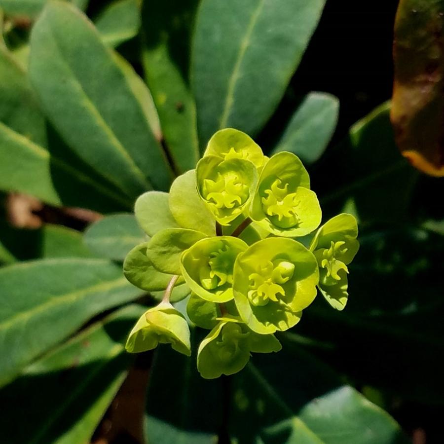 10-Euphorbia