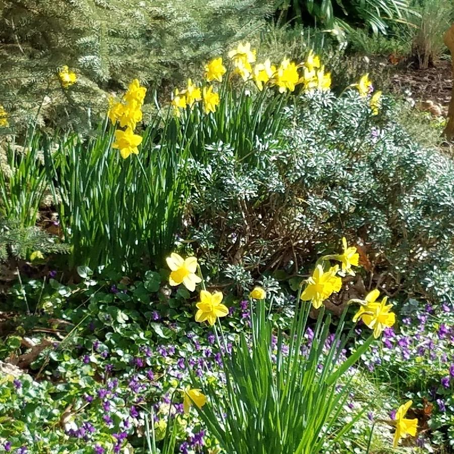 13-daffodils_095718