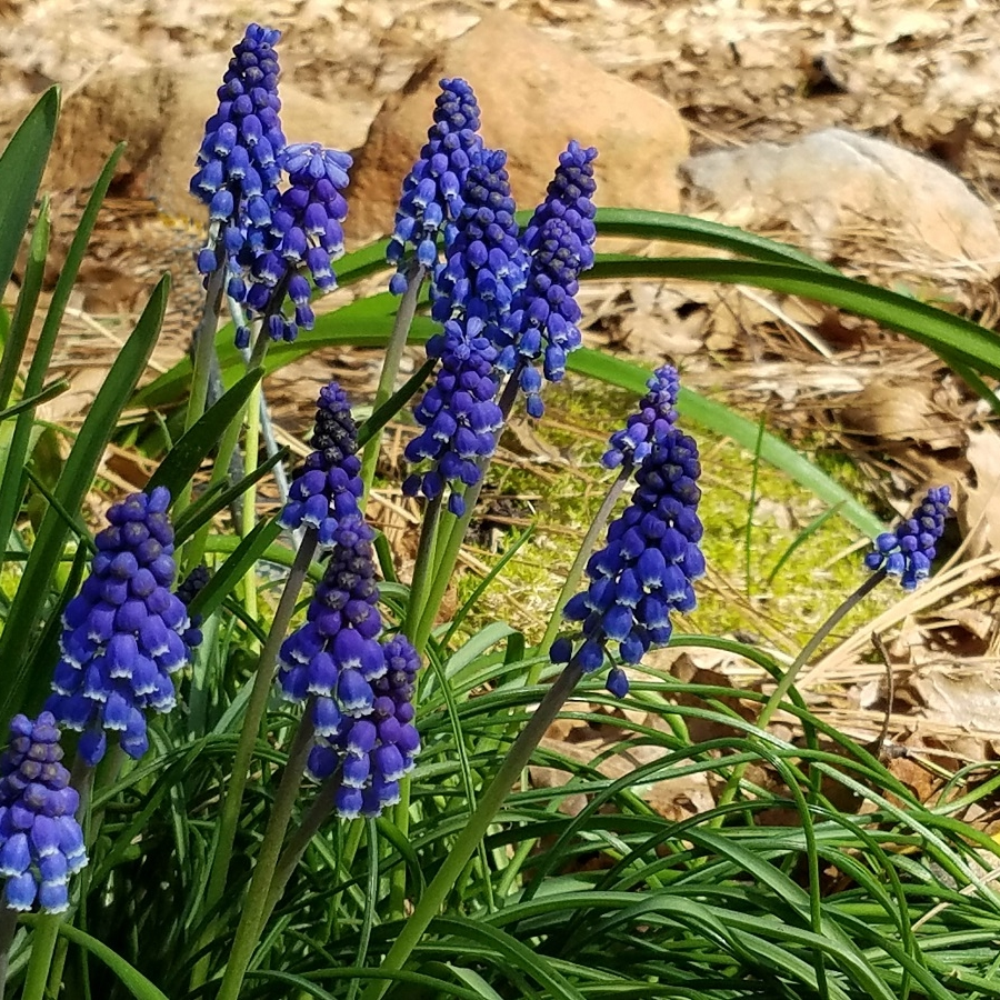 16a-grape hyacinth_122617