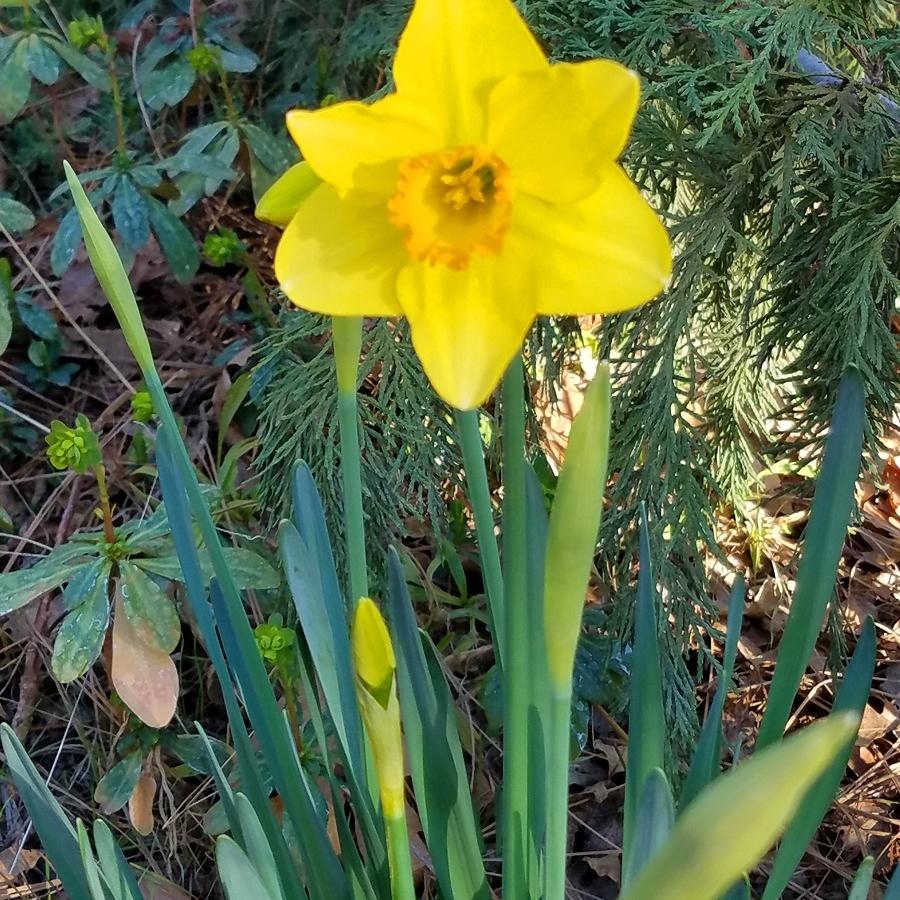 3-daffodill