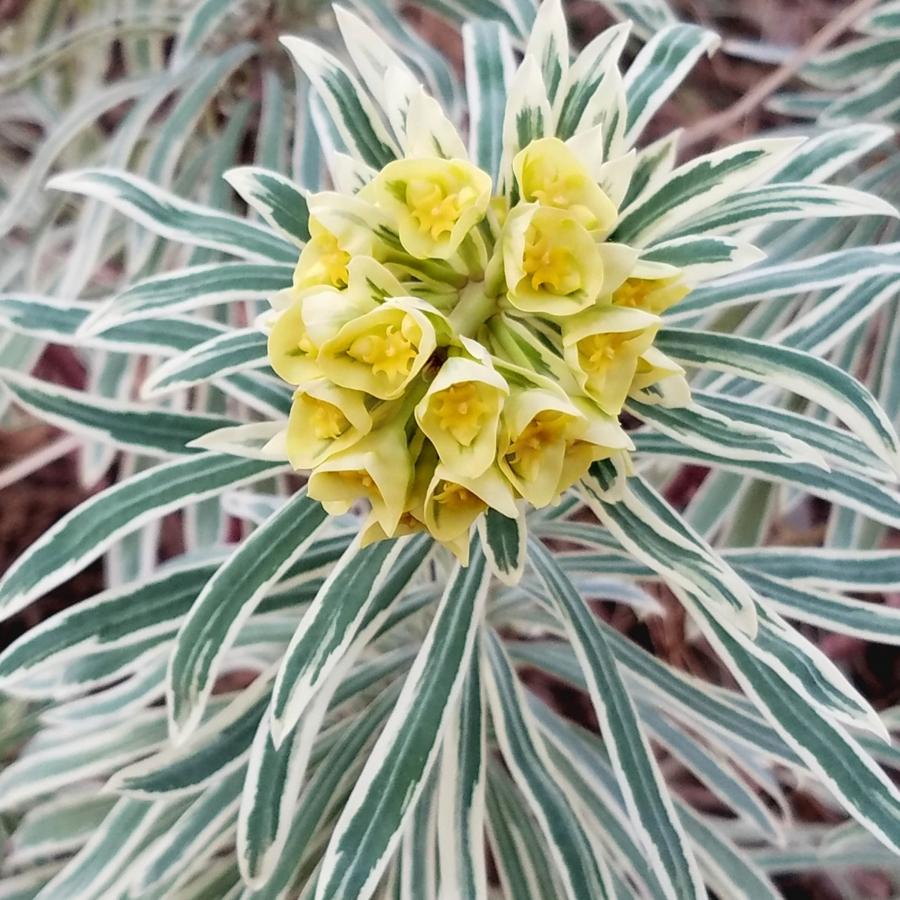 5-Variegated Euphorbia